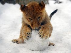 Lionceau et boule de neige
