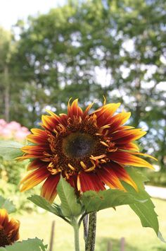 """(F1) The dramatic 6' tall plants are covered with interesting semi-double blooms as large as 5"""" across in a mixture of mahogany and golden yellow. Striking! Plant in full sun, 1/2"""" deep, 12"""" to 18"""" ap"""