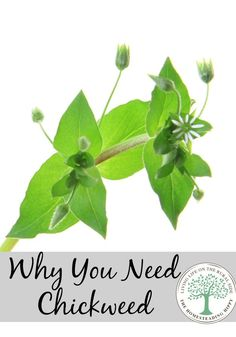 """Chickweed is a common yard """"weed"""" that has a lot of nutritional and medicinal value.  Come and learn more!  The Homesteading Hippy #homesteadhippy"""