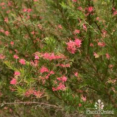 Grevillea Pink Pearl Australian Plants Online Australian Plants, New Roots, Plants Online, Bright Pink, Shrubs, Pink Flowers, Frost, Nativity, Pearls
