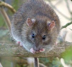 Rat | Flickr - Photo Sharing!