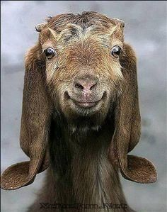 Nubian Goats are the best milkers....
