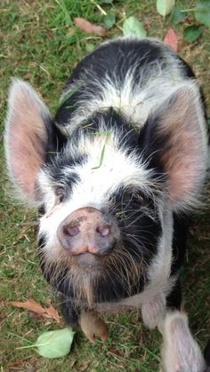 Kune Kune Pig - Friendly and said to be easier to deal with than Pot-belly pigs Baby Pigs, Pet Pigs, Kune Kune Pigs, Farm Animals, Cute Animals, Pot Belly Pigs, Teacup Pigs, Mini Pigs, Cute Piggies