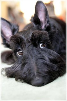 .sweet scottie
