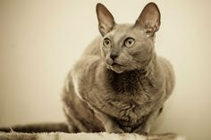 Egyptian Mau Cat Breed Information, Pictures, Characteristics & Facts