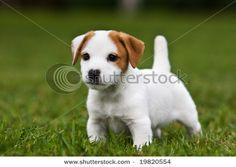 Jack Russell Terriers <3