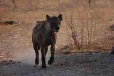 #hyena in Botswana, #Africa http://www.travelswithgannonandwyatt.com/