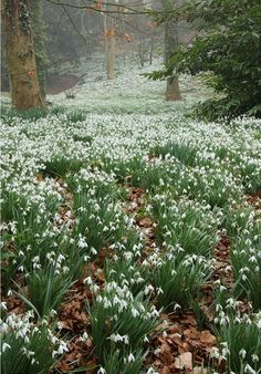 Woodland with Snowdrops. Gloucestershire, England.  Photo - Warren Photographic