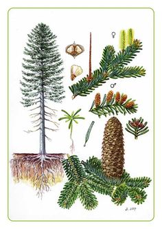 Smrk x jedle Garden Trees, Trees To Plant, Garden Plants, Pine Tree Art, Old Oak Tree, Garden Drawing, Nature Drawing, Nature Hunt, Natural Structures
