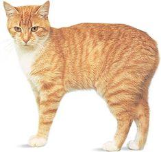Gatto senza coda, tipico dell'Isola di man.