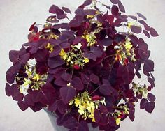 Oxalis flower care super pictures