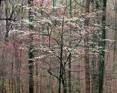 Pink and White Dogwood, Kentucky, 1991, photo by Christopher Burkett.  I do so miss dogwoods!