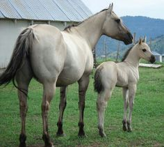 American Quarter Horse mare and foal- a beautiful mini-me of mom