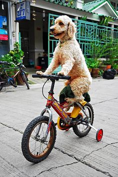 Poodle on bicycle  THIS GUY TAUGHT SOME OF MY KRAZY KITTIES TO RIDE A BIKE......GEEZE- IT- GERTIE, THEY STILL RUN INTO ANYTHING AND EVERYTHING.....AND, I PAID HIM TO GIVE THEM LESSONS......P.S...DON'T WASTE YOUR MONEY........ccp