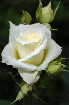 Wet white rose by beritsherif on 500px