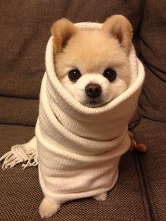 Burrito puppy.