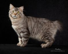The American Bobtail is an uncommon breed of domestic cat which was developed in the late is most notab. Large Domestic Cat Breeds, Large Cat Breeds, American Bobtail Cat, American Shorthair Cat, Rare Cats, Cats And Kittens, Kitty Cats, Turkish Van Cats, American Curl