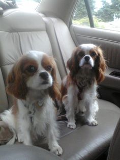 CKCS Going on a car ride!  Carly and Bailey!!!  they can ride right over to my house!