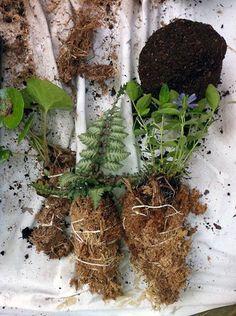 Envolva as raízes com o musgo seco