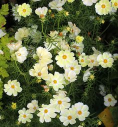 Specializing in rare and unusual annual and perennial plants, including cottage garden heirlooms and hard to find California native wildflowers. Rock Garden Plants, Garden Types, Love Flowers, White Flowers, Next Garden, Mexican Flowers, Garden Seeds, Garden Design, Patio Design