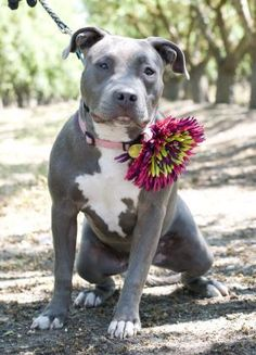 Sky is an adoptable Pit Bull Terrier searching for a forever family near Fresno, CA. Use Petfinder to find adoptable pets in your area.