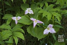 USA, Michigan. Woods and blooming trillium wildflowers. Photographic Print by Anna Miller at Art.com
