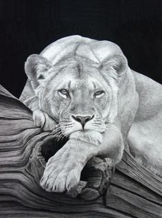 Secrets Of Drawing Realistic Pencil Portraits - Realistic Animal Pencil Drawings can hardly believe this is not a photo. The textures are perfect-k Secrets Of Drawing Realistic Pencil Portraits - Discover The Secrets Of Drawing Realistic Pencil Portraits Realistic Animal Drawings, Pencil Drawings Of Animals, Hard Drawings, Drawing Animals, Portrait Au Crayon, Pencil Portrait, Cat Drawing, Drawing People, Paper Drawing