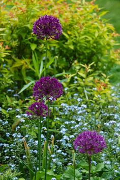 Allium 'Purple Sensation' contrasting with Spirea 'Goldflame' and blue forget-me-nots in the Front Walk. ~Wife, Mother, Gardener blog