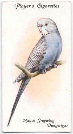 Mauve Greywing Wellensittich (ca. Mauve, Budgies, Parrots, Animal Sketches, Bird Illustration, Bird Drawings, Pictures To Paint, Bird Art, Beautiful Birds