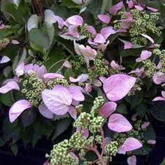 Arbuste sarmenteux. Floraison estivale. S'accroche seul à son support avec ses crampons.