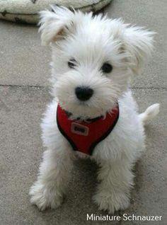 WHITE Miniature Schnauzer Pups *** White miniature