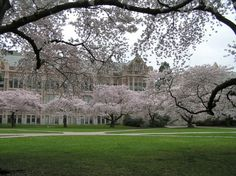 UW Quad's cherry trees, Seattle, WA
