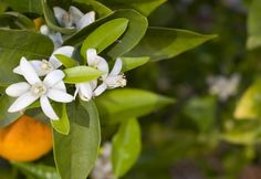 Differences between neroli and orange blossom via Fragrance.about.com