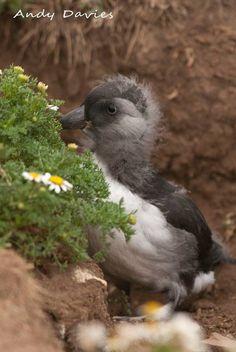 Puffling on Skomer Island (c) Andy Davies