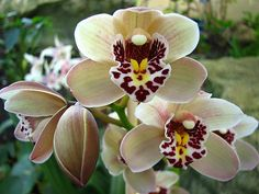CYMBIDIUM ORCHIDS !!  Took this picture at the annual Orchid Festival held at  Kew Gardens  (Royal Botanic Gardens) in London.