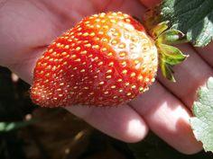 Finales de octubre y aún tenemos fresas en el huerto.
