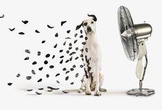 Fan blows away dalmatian spots