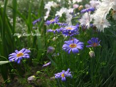 Petra Rosso' Garden. Blue & purple flower bed. Brachycome. Spring