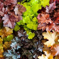 Perennials: Heuchera varieties: top left: Encore, Lime Marmalade, Neptune, Kassandra, Can Can, and Creme Brulee. Full to part sun and regular water. Grow 1 to 3 feet tall and wide.