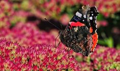 Country diary: late summer flowers draw a frenzy of #insects  Allendale, Northumberland I count 50 butterflies working the double row of sedums spilling their sticky scent onto the early morning air http://crwd.fr/2xACKRo @guardian End of summer doesnt mean the end of flowers/insects!  #Summer #Fall #Since1922🌳