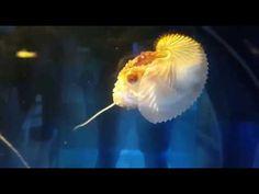Paper Nautilus (Argonauta argo) making a lure using Its tentacle?