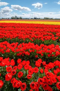Traveling with infants doesn't have to be hard. Enjoy Washington's tulips hassle-free by planning ahead. Skagit Valley Tulips are a sight to see for all! Oregon Travel, California Travel, Northern California, Oregon Washington, Tulip Festival, Tulip Fields, The Far Side, Red Tulips, Traveling With Baby