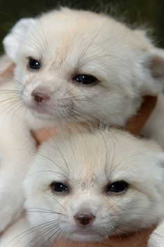 Fennec fox twins -- look at their little faces :)