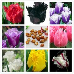 Vrai tulipe ampoules, tulipe fleur, (pas tulipe graines), Fleur ampoules symbolise l'amour, tulipanes fleur usine pour jardin plantes-2 ampoules