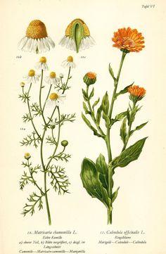 ECHTE KAMILLE RINGELBLUME Botanik Farbdruck Antiker Druck Antique Print