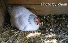 Mike Breder : Hi Gina, Thanks for your newsletter. I have a question for you. I have 4 hens including an Americauna, Rhode Island Re...