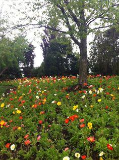 Chicago Botanic Garden - poppies Natural Senior Pictures, Chicago Botanic Garden, Sandy Beaches, Beautiful Roses, Lovely Things, Amazing Gardens, Botanical Gardens, Poppies, Grass