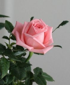 There are so many different types of flowers from around the world. This list offers some of the most popular that have their own spectacular features. Beautiful Rose Flowers, Romantic Roses, My Flower, Pink Flowers, Beautiful Flowers, Rosa Rose, Rose Wallpaper, Arte Floral, Flower Photos