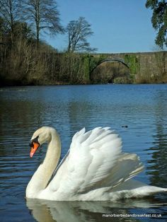 Mute swan at Stackpole
