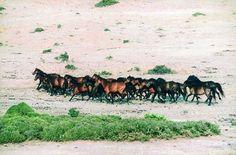 Petala Mountain feral horse (Amfilochia and Agrinio, Greece)